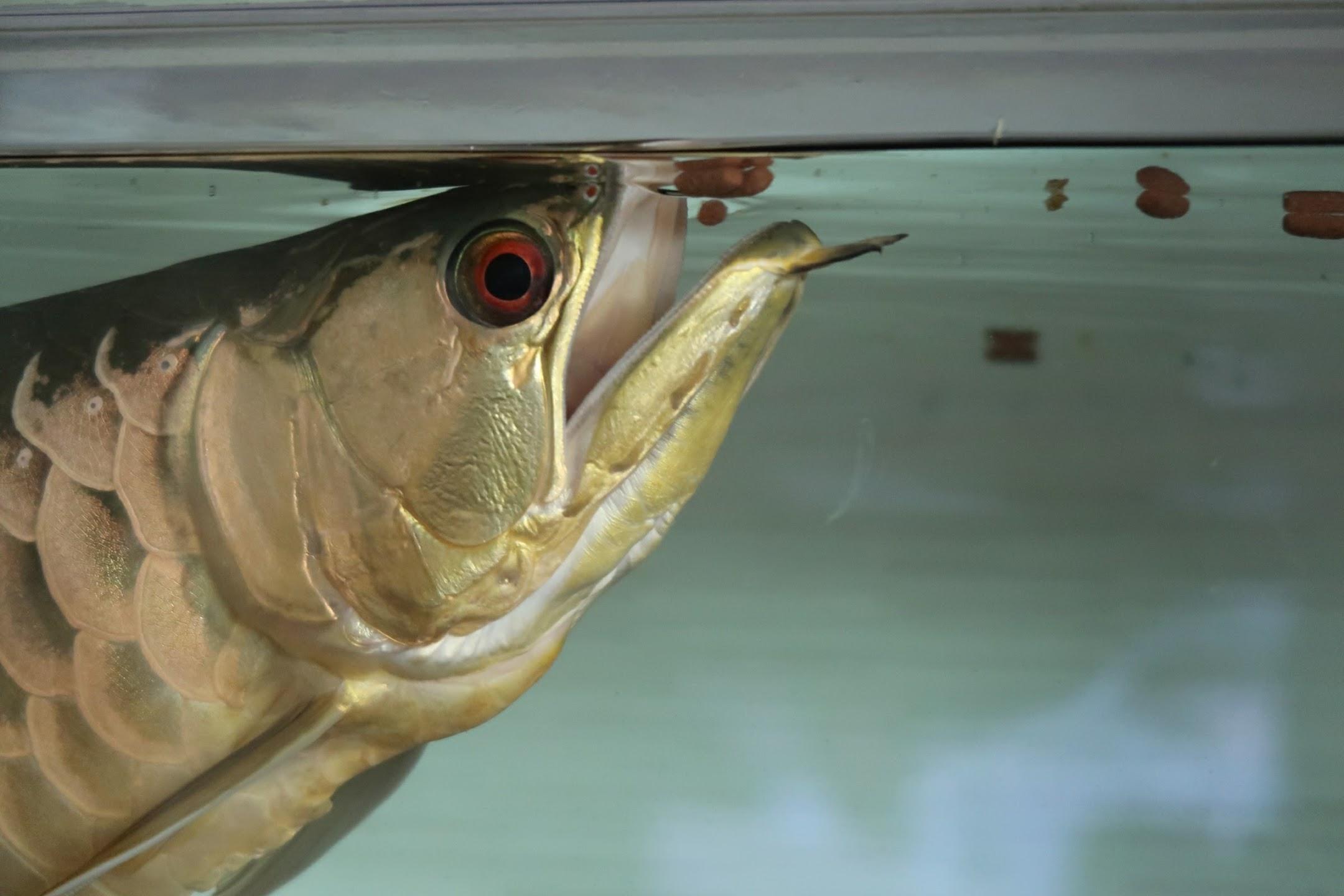 アジアアロワナは水質が良くなれば餌食いが良くなる