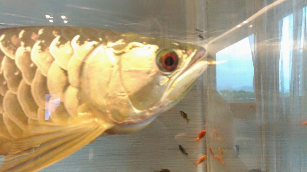 アロワナ 金魚