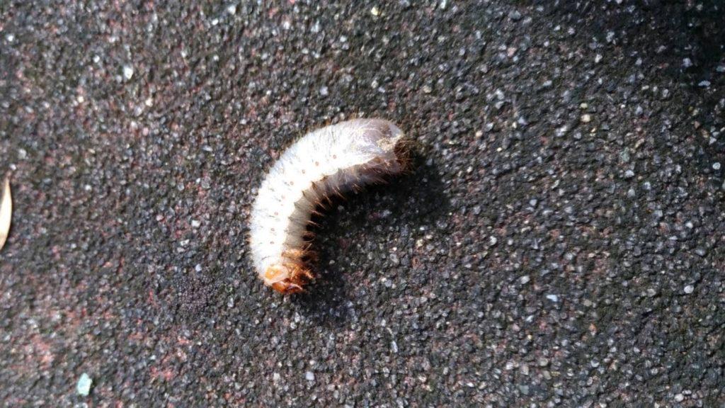 コガネムシ 幼虫