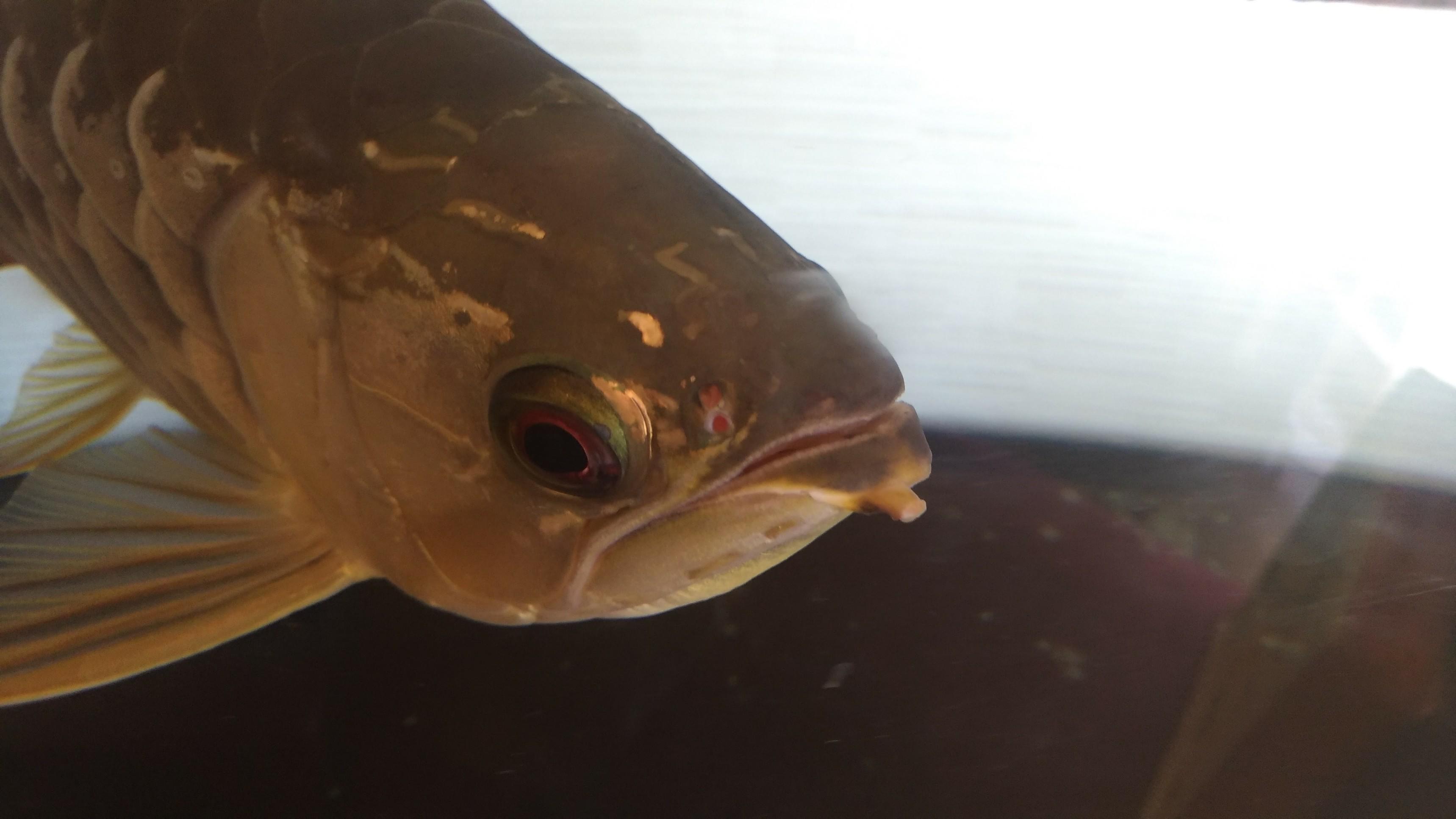 【超悲報】アジアアロワナのヒゲが両方とも完全に切れる