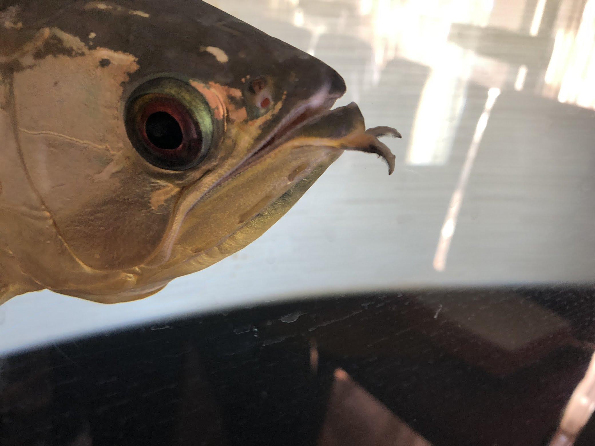 アロワナのヒゲが切れてから3ヶ月した再生具合の報告