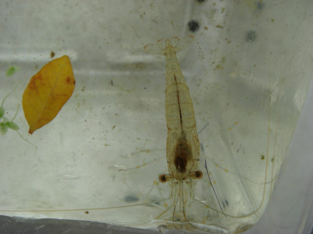 釣り餌 ヌマエビ アロワナ
